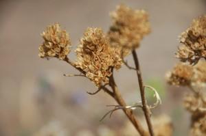 1_globe gilia in seed