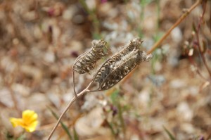 5_lacy phacelia in seed